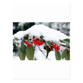 Cotoneaster Fruits with a Snow Hat Postcard