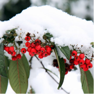 Cotoneaster Fruits with a Snow Hat Statuette