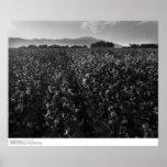 Cotton field, into sun near El Centro, 1966 Posters