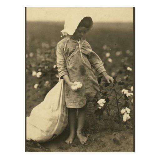 Cotton Field Post Card