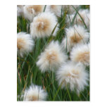 Cotton Grass (Eriophorum russeolum) Postcard