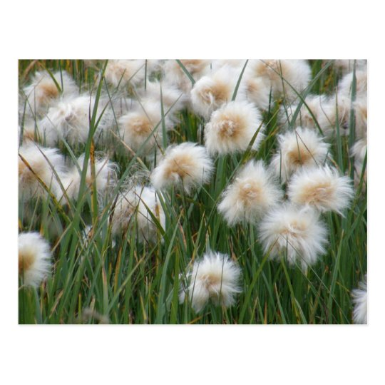 Cotton Grass, Unalaska Island Postcard