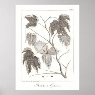 Cotton Plant Poster Antique Botanical Illustration
