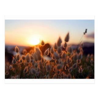 Cotton tails sunset postcard