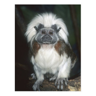 Cotton-top Tamarin Saguinus oedipus) Captive, Postcard