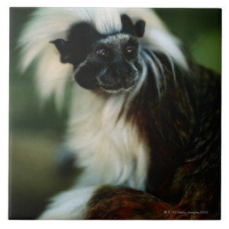 Cotton top tamarin (Saguinus oedipus) sitting, Ceramic Tile