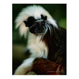 Cotton top tamarin (Saguinus oedipus) sitting, Postcard