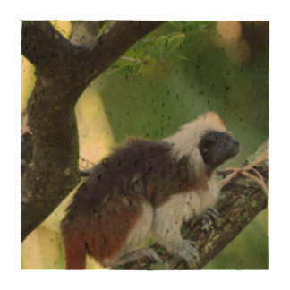 Cotton Topped Tamarin Drink Coasters