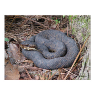 Cottonmouth Moccasin Poster
