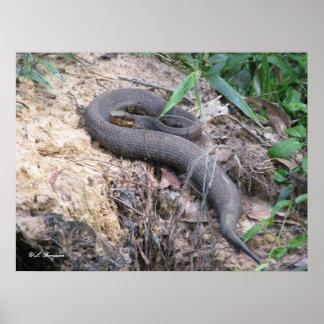 Cottonmouth Snake Basking Poster