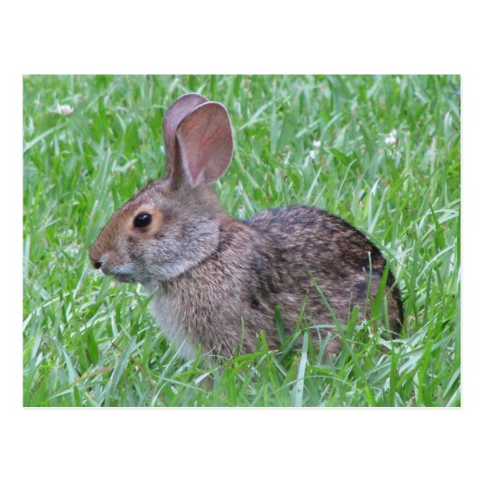 Cottontail in Grass Postcard