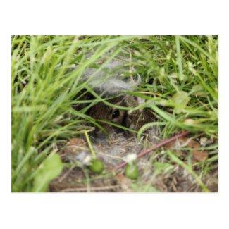 Cottontail Rabbit Babies Postcard