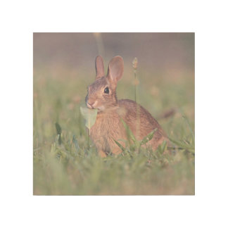 Cottontail rabbit gallery wrap