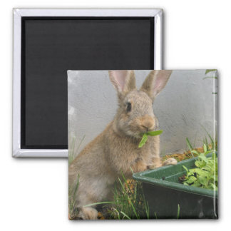Cottontail Rabbit Magnet
