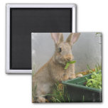 Cottontail Rabbit Magnet Refrigerator Magnet