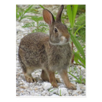 Cottontail Rabbit Postcard