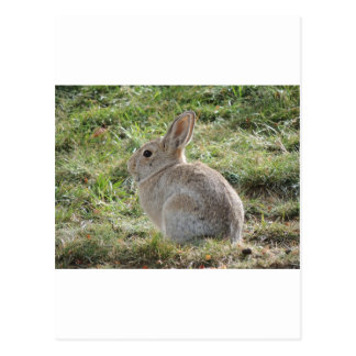 Cottontail Rabbit Postcards