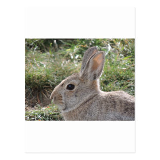 Cottontail Rabbit Post Card