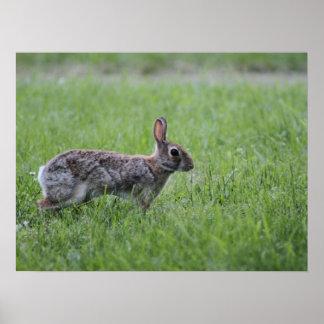 Cottontail Rabbit Print