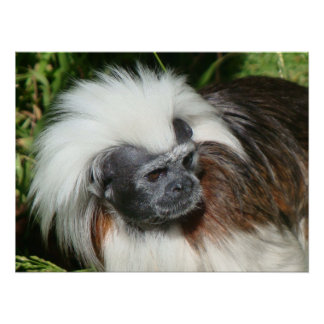 Cottontop Tamarin Monkey (Close Up) Poster