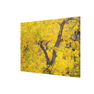 Cottonwood tree in peak fall colors in Glacier Canvas Print