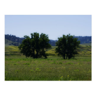 Cottonwood Trees Postcard