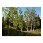 Cottonwoods Along Moose Ponds Trail at Grand Teton Poster