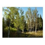 Cottonwoods on Moose Ponds Trail Postcard