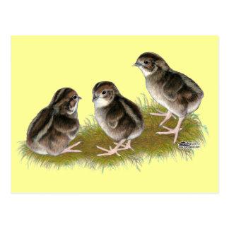 Coturnix Quail Chicks Postcard