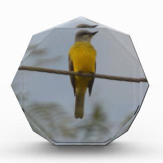 Couch's Kingbird Bird Nature Awards