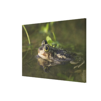 Couch's Spadefoot, Scaphiopus couchii, adult, 2 Canvas Print