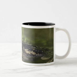 Couch's Spadefoot, Scaphiopus couchii, adult, 2 Mug