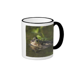 Couch's Spadefoot, Scaphiopus couchii, adult, 2 Coffee Mugs