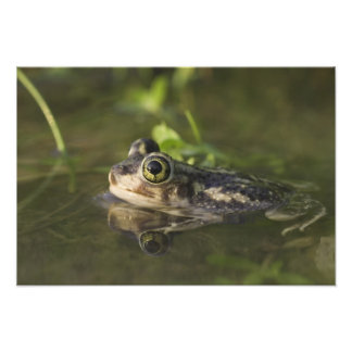 Couch's Spadefoot, Scaphiopus couchii, adult, 2 Photographic Print