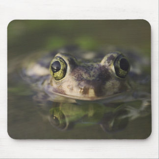 Couch's Spadefoot, Scaphiopus couchii, adult, Mouse Pad