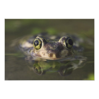 Couch's Spadefoot, Scaphiopus couchii, adult, Photographic Print