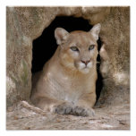 Cougar 012 poster