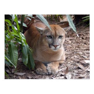 Cougar 018 postcard