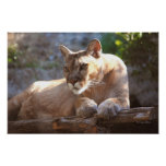 Cougar 1 print