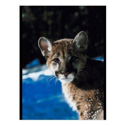 Cougar Cub Postcard