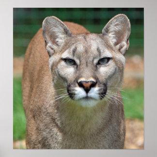 Cougar, mountain lion beautiful photo poster print