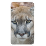Cougar, mountain lion, Florida panther, Puma 2