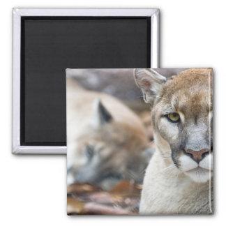 Cougar, mountain lion, Florida panther, Puma 2 2 Inch Square Magnet