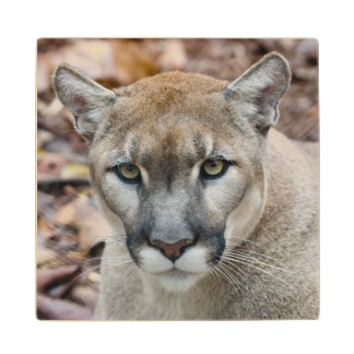 Cougar mountain lion Florida panther Puma 2 Maple Wood Coaster