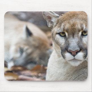 Cougar, mountain lion, Florida panther, Puma 2 Mouse Pad