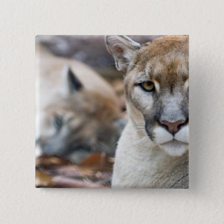 Cougar, mountain lion, Florida panther, Puma 2 Pinback Button