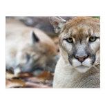 Cougar, mountain lion, Florida panther, Puma 2 Postcard