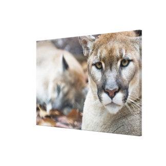 Cougar, mountain lion, Florida panther, Puma Canvas Print