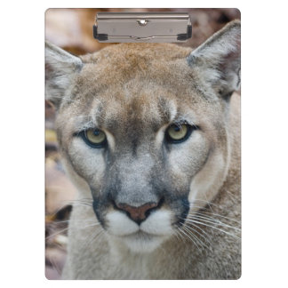 Cougar, mountain lion, Florida panther, Puma Clipboard