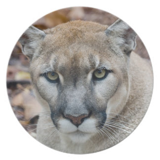 Cougar, mountain lion, Florida panther, Puma Plate
